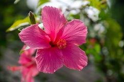 Flowers& cor-de-rosa x28 do hibiscus; Syriacus L do hibiscus & x29; Fotos de Stock Royalty Free