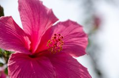 Flowers& cor-de-rosa x28 do hibiscus; Syriacus L do hibiscus & x29; Imagem de Stock