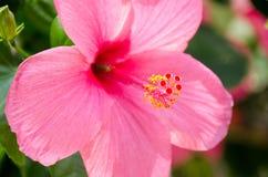 Flowers& cor-de-rosa x28 do hibiscus; Syriacus L do hibiscus & x29; Imagens de Stock Royalty Free