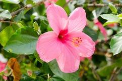 Flowers& cor-de-rosa x28 do hibiscus; Syriacus L do hibiscus & x29; Imagens de Stock