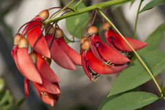 Flowers of coral tree. Details of coral tree flowers Stock Photos