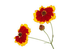 Flowers of coreopsis Stock Image