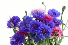 Flowers cornflowers Royalty Free Stock Photo