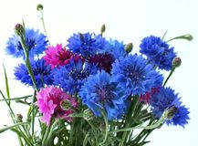 Flowers cornflowers Royalty Free Stock Photos