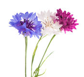 Flowers cornflowers Stock Photo