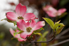 Flowers of Cornus florida Royalty Free Stock Image