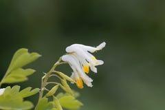 Flowers of Corydalis capnoides Royalty Free Stock Photo