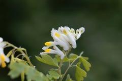 Flowers of Corydalis capnoides Royalty Free Stock Photography
