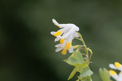 Flowers of Corydalis capnoides Royalty Free Stock Images