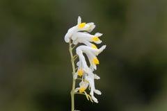Flowers of Corydalis capnoides Stock Photo