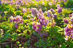 Flowers of Corydalis halleri or Corydalis solida in springtime blooming under sunset light. Spring sunny landscape. Shallow depth of field. Selective focus at Royalty Free Stock Photo