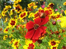Flowers of cosmos. Red and yellow flowers of cosmos close up Royalty Free Stock Images