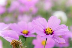 Flowers cosmos in the field blooming on the day  in the nature g Stock Photography