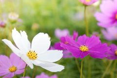 Flowers cosmos in the filed morning time Stock Images