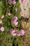 Flowers Cosmos Royalty Free Stock Image