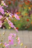 Flowers Cosmos Royalty Free Stock Photo