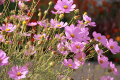 Flowers Cosmos Stock Images