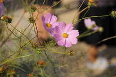 Flowers Cosmos Royalty Free Stock Photography