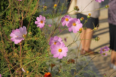 Flowers Cosmos Stock Photography