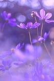 Flowers cosmos purple color . Very beautiful flowers with purplish tinting. Selective focus. Royalty Free Stock Photos
