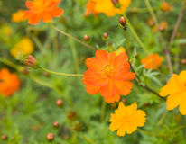 Flowers of Cosmos sulphureus Stock Image