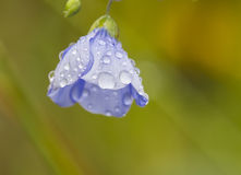 Flowers covered with dew Royalty Free Stock Images