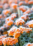 Flowers covered with frost. A variety of flowers covered with frost closeup shot Stock Photos