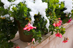 Flowers covered snow. Royalty Free Stock Images