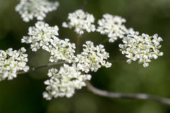 Flowers of cow parsley. Stock Photography