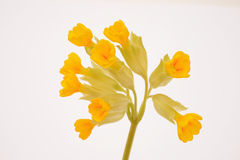 Flowers of cowslip, Primula Veris Stock Photo