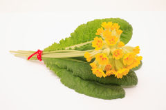 Flowers of cowslip, Primula Veris Royalty Free Stock Images
