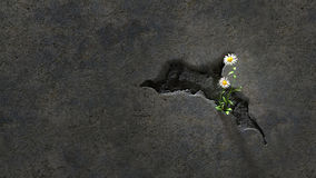 Flowers in a Cracked Wall. Beauty can be found anywhere, here two daisies bloom in a crack in a concrete wall Stock Photo
