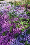 Flowers of creeping Phlox, carpeted Stock Images