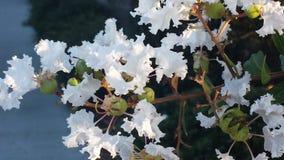 Flowers. Crepe myrtle blooms Stock Image