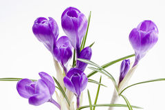 flowers of crocus isolated on white background Royalty Free Stock Photo