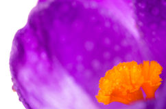 Flowers crocuses background Royalty Free Stock Photos