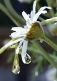 Flowers cry too. Wild daisy with rain drop Royalty Free Stock Photography