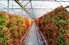 Flowers cultivated in greenhouses. Many flowers in agricultural park Stock Photos