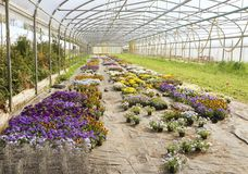 Flowers cultivation under transparent tunnel Royalty Free Stock Photos