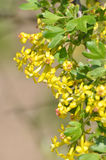 Flowers of currant. Yellow flowers and leaves of currant Royalty Free Stock Image