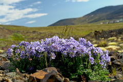 Flowers cyanosis (Polemonium racemosum)  of the tundra in Chukot Stock Photo