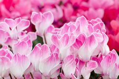 Flowers of cyclamen. Close-up of Pink Colored Cyclamen flowers Stock Photography