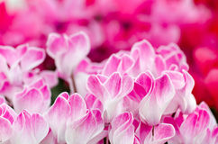 Flowers of cyclamen. Close-up of Pink Colored Cyclamen flowers Stock Images
