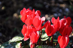 Flowers of cyclamen Stock Photography