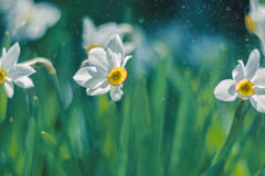 Flowers daffodils outdoors in sunlight. The backdrop of the bokeh is made of rain drops. Flowers daffodils outdoors in sunlight. The backdrop of the bokeh is Royalty Free Stock Images