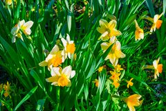 Flowers daffodils spring outdoors among green leaves and grass, sun-lit Stock Image