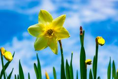 Flowers daffodils spring outdoors among green leaves and grass, sun-lit Stock Images