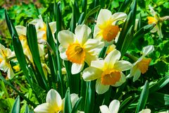 Flowers daffodils spring outdoors among green leaves and grass, sun-lit Royalty Free Stock Images