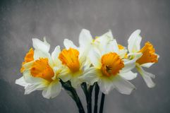 Flowers daffodils in a vase royalty free stock image