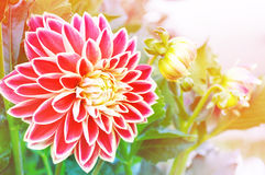 Flowers dahlia Stock Image